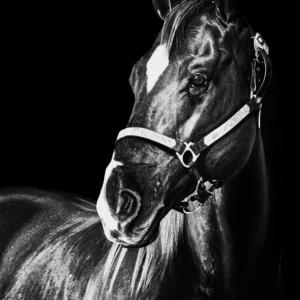 THE HORSE VI